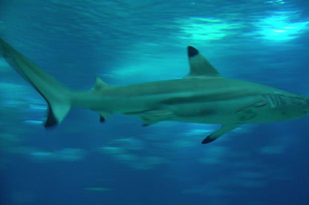 Haie sind wunderschön, können aber auch gefährlich werden. Allerdings sind nur acht Arten von den vielen die es gibt, gefährlich. (Foto: Wikipedia)